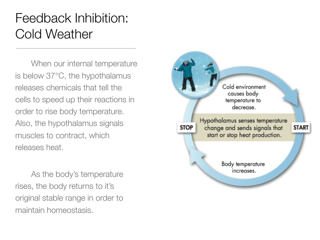 Feedback Inhibition: Cold Weather When our inte...