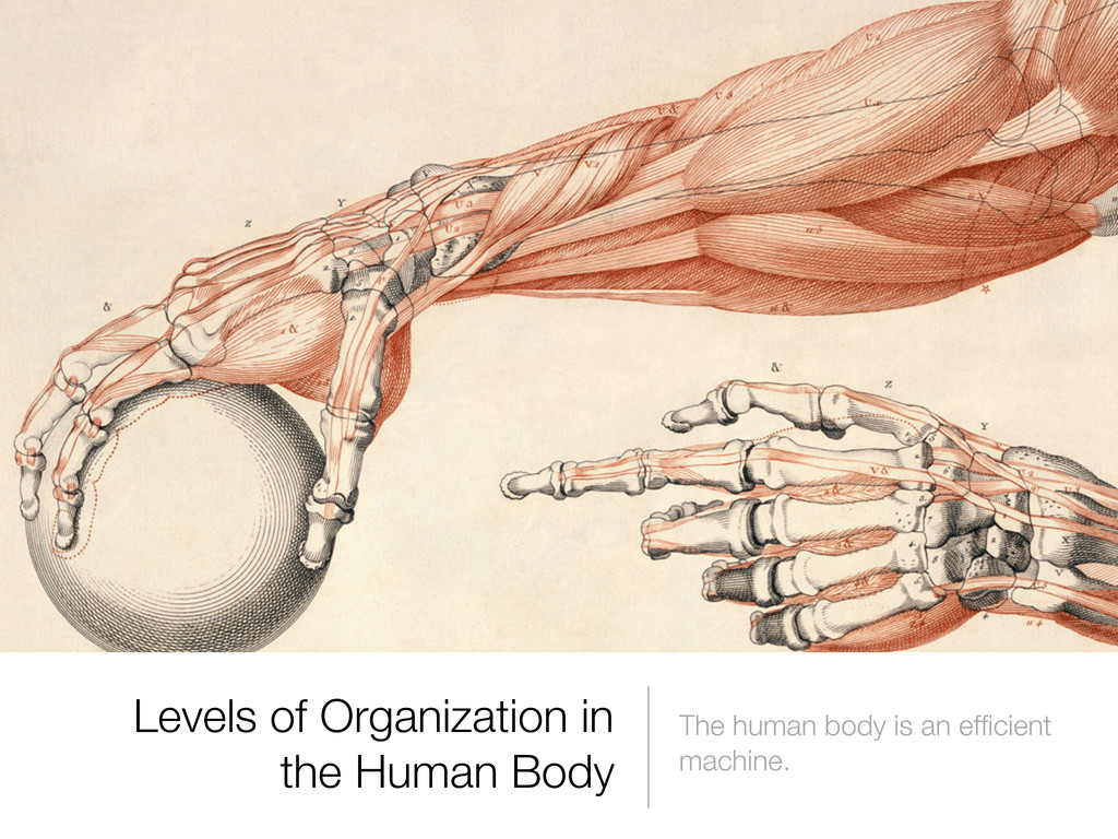 The human body is an efficient machine. Levels o...