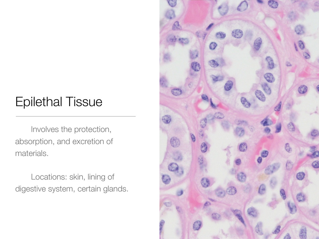 Epilethal Tissue Involves the protection, absor...