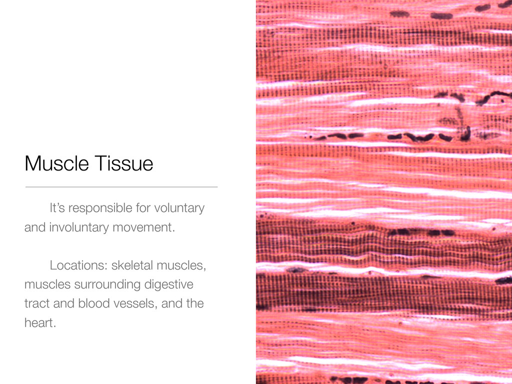 Muscle Tissue It's responsible for voluntary an...