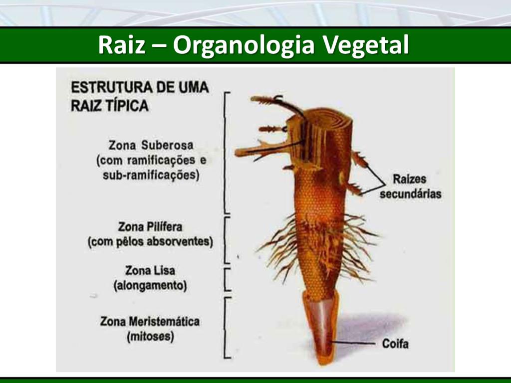 Raiz – Organologia Vegetal