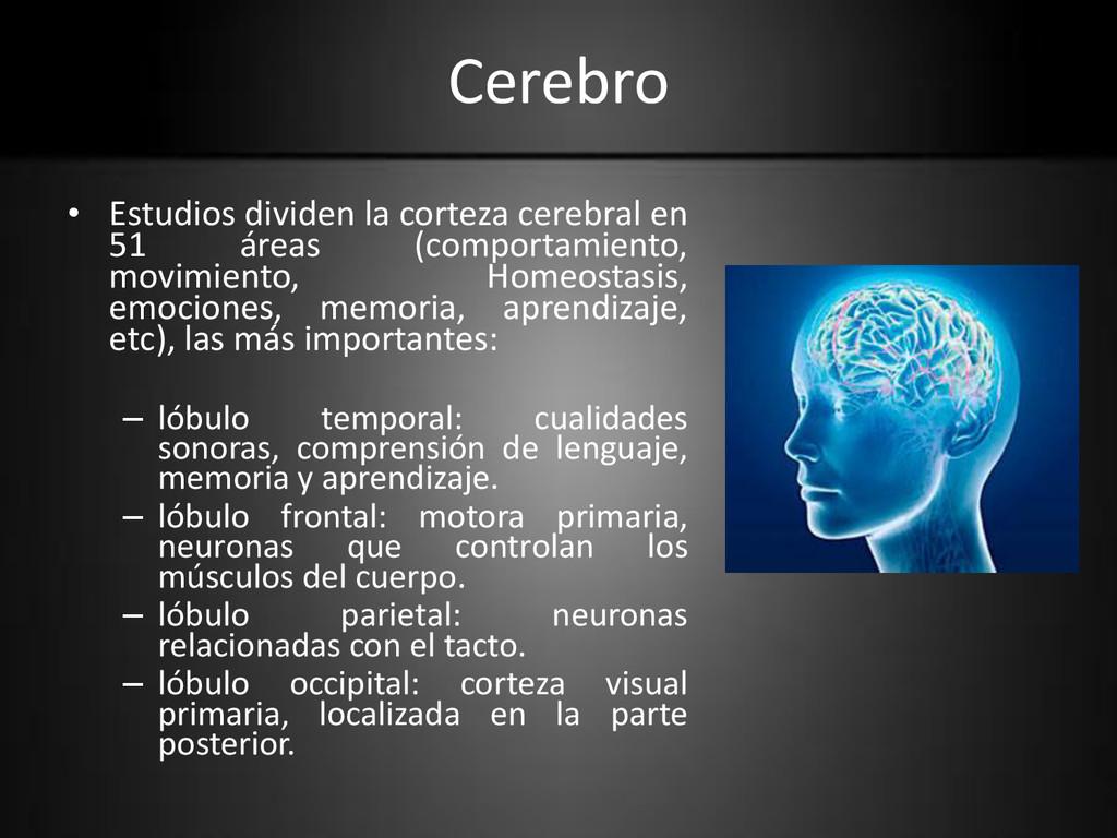 Cerebro • Estudios dividen la corteza cerebral ...