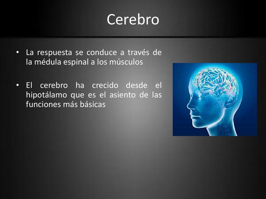 Cerebro • La respuesta se conduce a través de l...