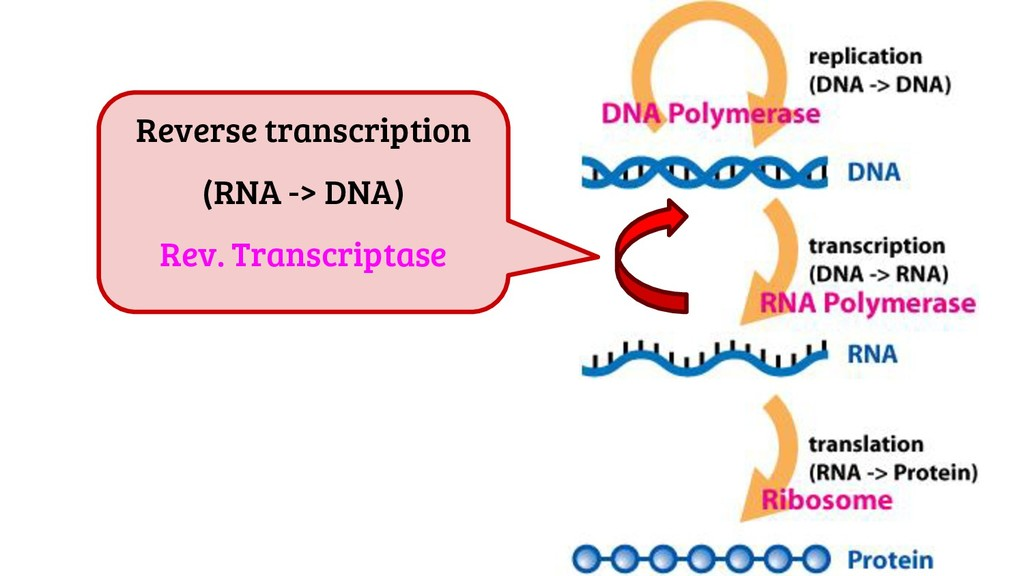 Reverse transcription (RNA -> DNA) Rev. Transcr...