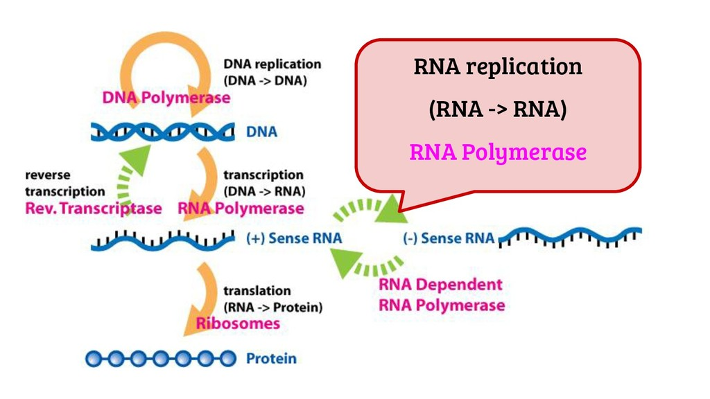 RNA replication (RNA -> RNA) RNA Polymerase