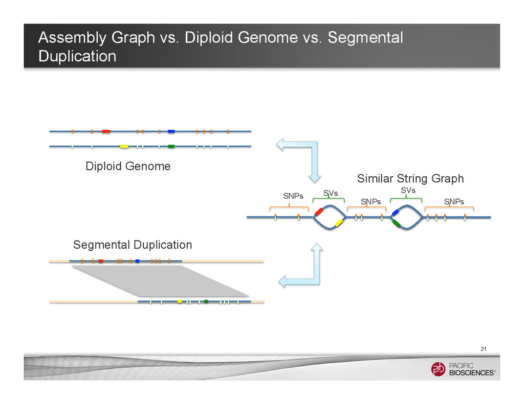 Assembly Graph vs. Diploid Genome vs. Segmental...