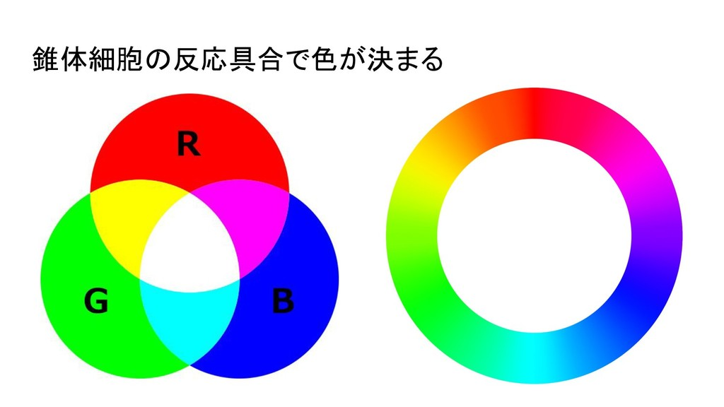 錐体細胞の反応具合で色が決まる
