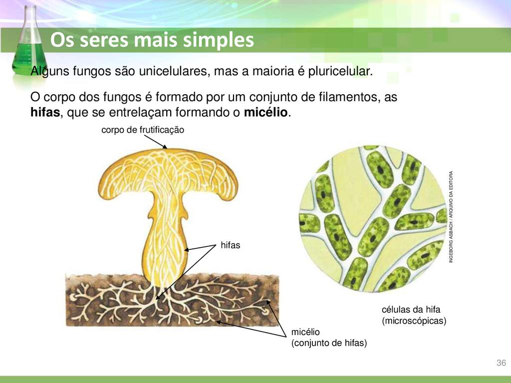 Os seres mais simples Alguns fungos são unicelu...