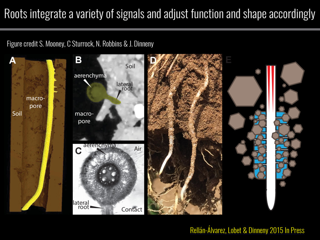 A B C D E Contact Air lateral root aerenchyma a...