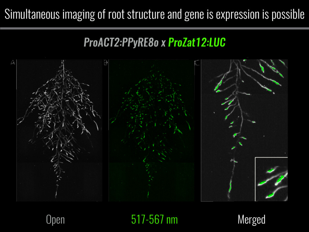 Simultaneous imaging of root structure and gene...