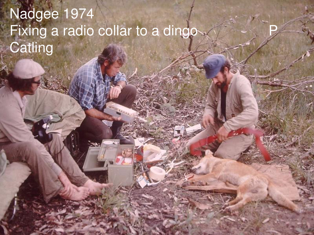 Nadgee 1974 Fixing a radio collar to a dingo P ...