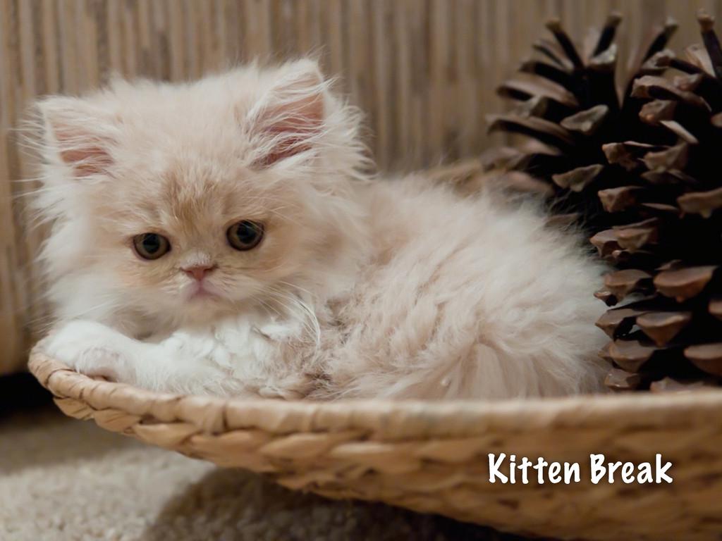 Kitten Break