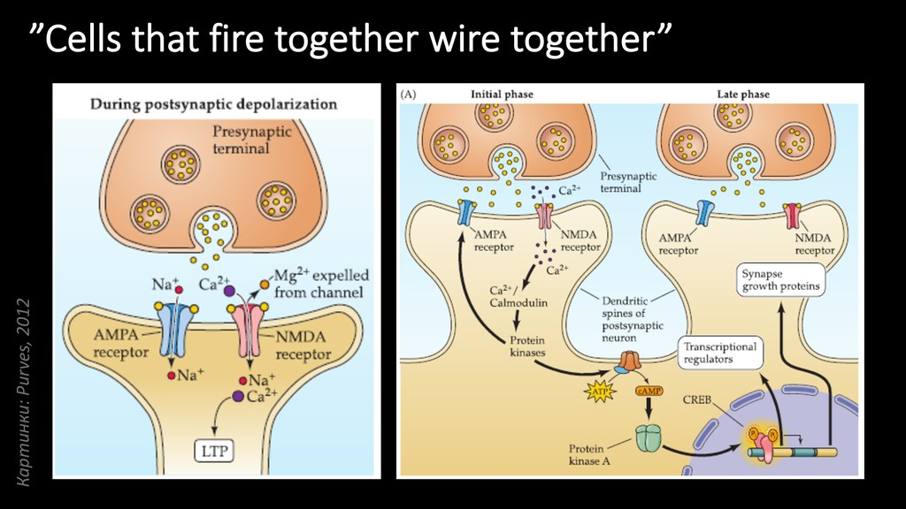 """Cells that fire together wire together"" Картин..."