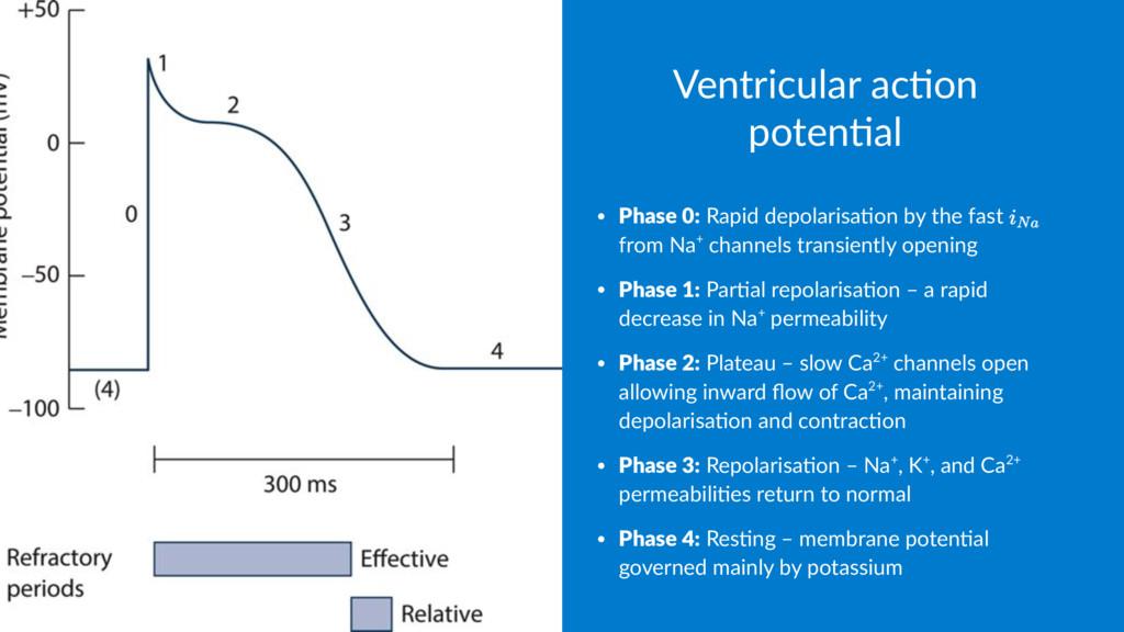 Ventricular ac,on poten,al • Phase 0: Rapid dep...