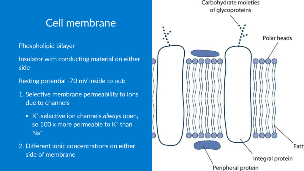 Cell membrane Phospholipid bilayer Insulator wi...