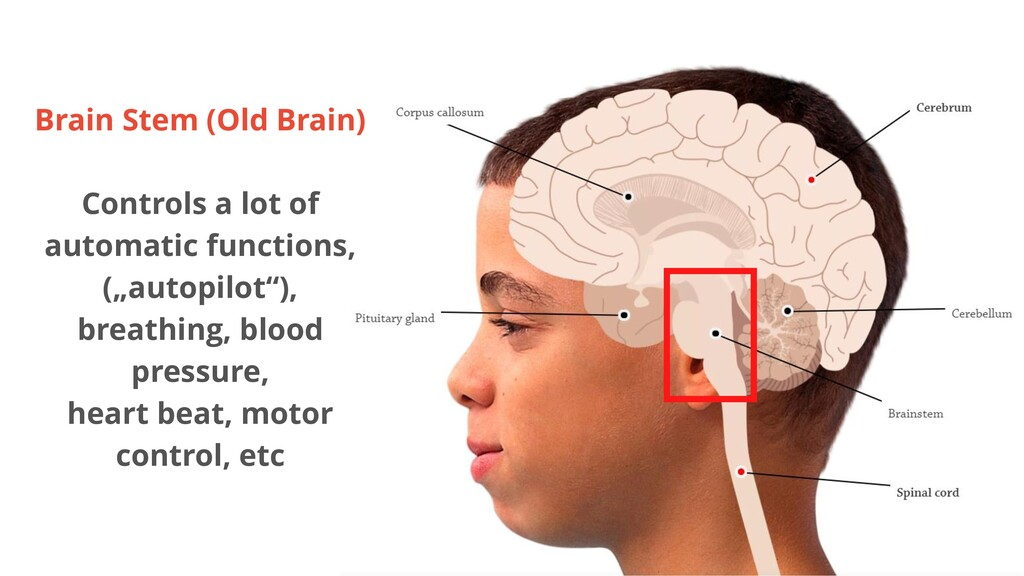 Brain Stem (Old Brain) Controls a lot of automa...