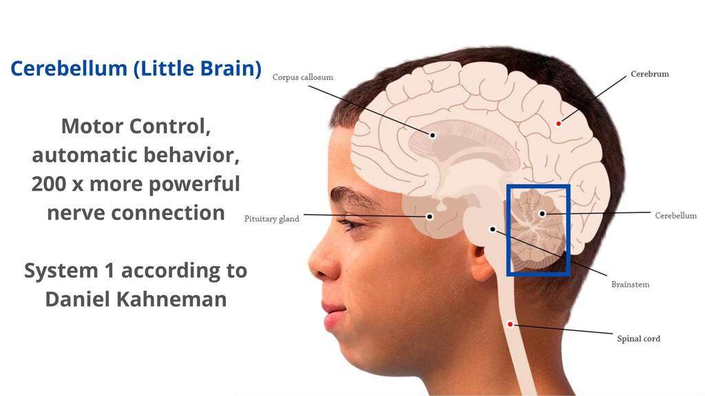 Cerebellum (Little Brain) Motor Control, automa...