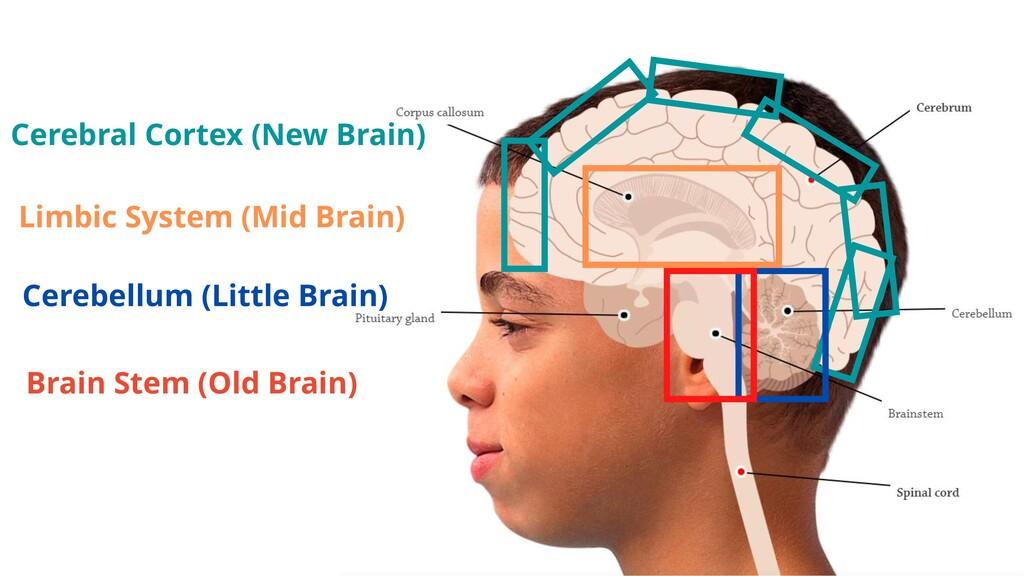 Cerebral Cortex (New Brain) Limbic System (Mid ...