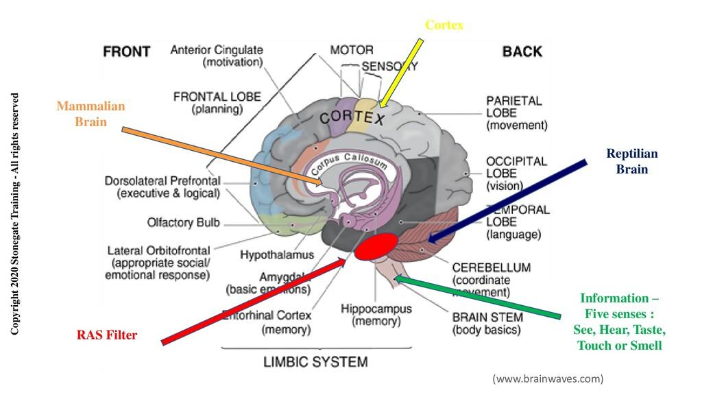 Mammalian Brain Information – Five senses : See...