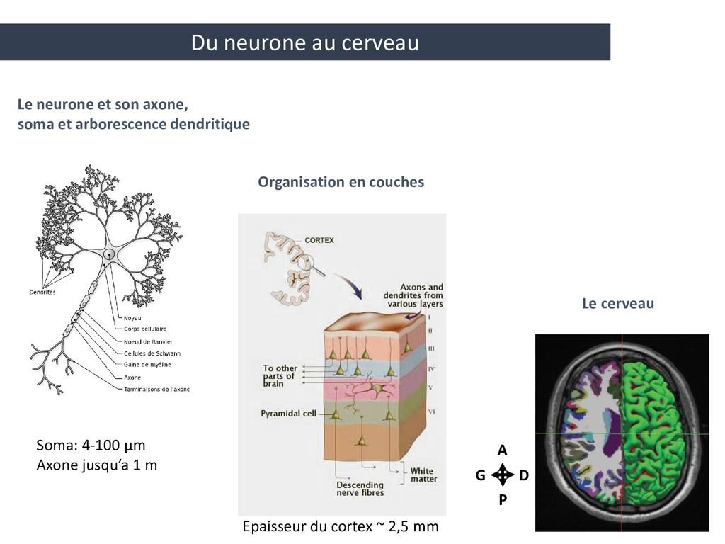 Organisation en couches Le neurone et son axone...