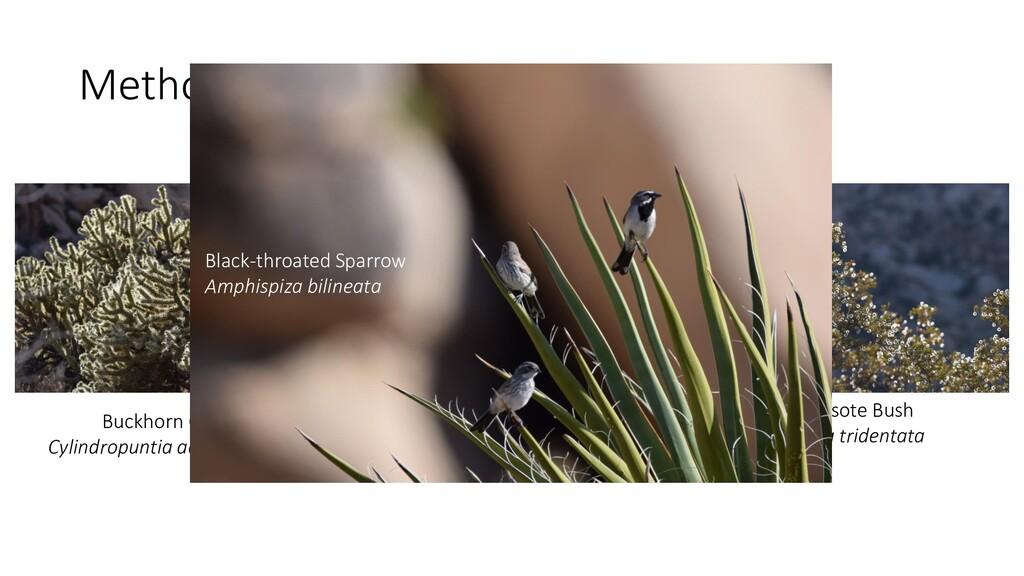 Methods: Study Species Buckhorn Cholla Cylindro...