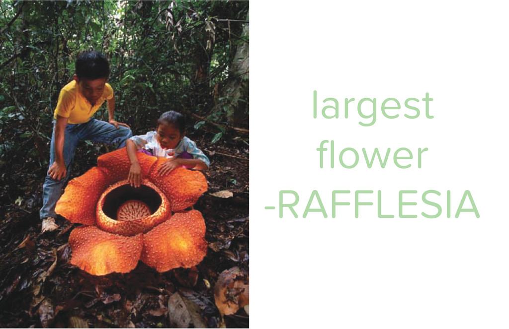 largest flower -RAFFLESIA