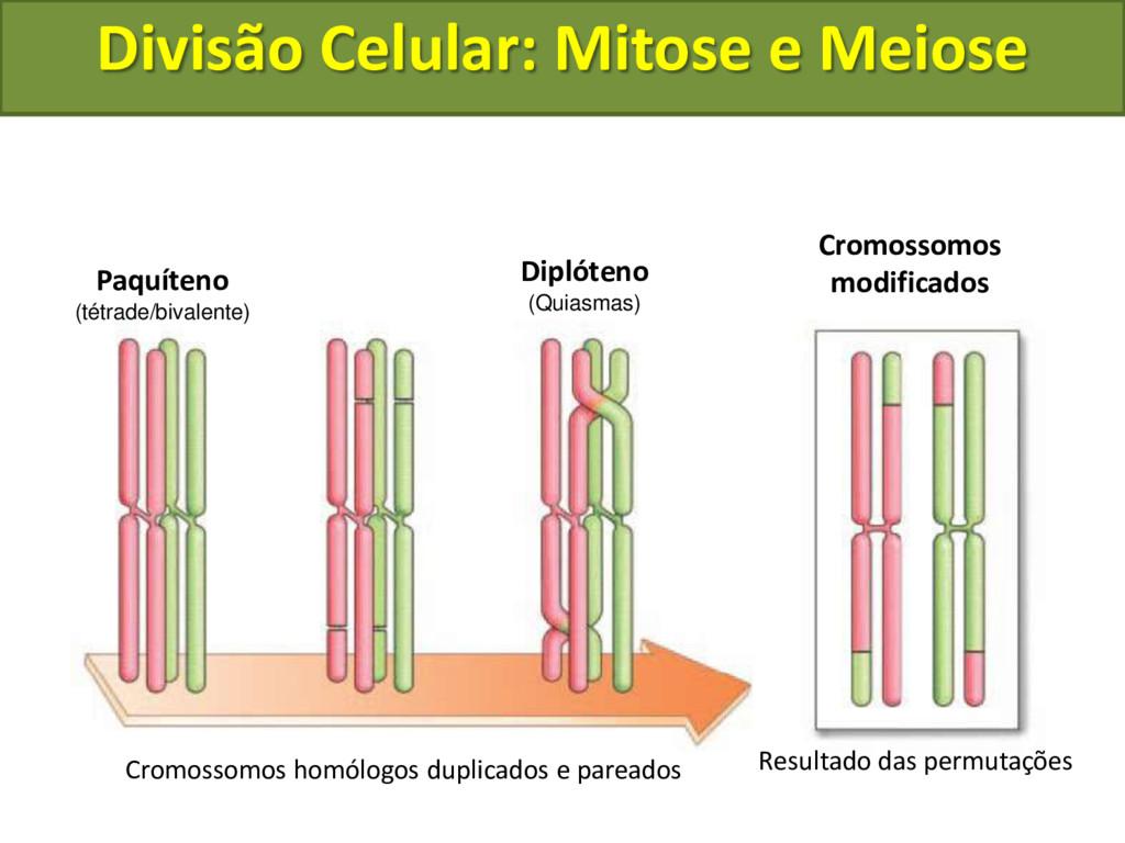 Cromossomos homólogos duplicados e pareados Res...