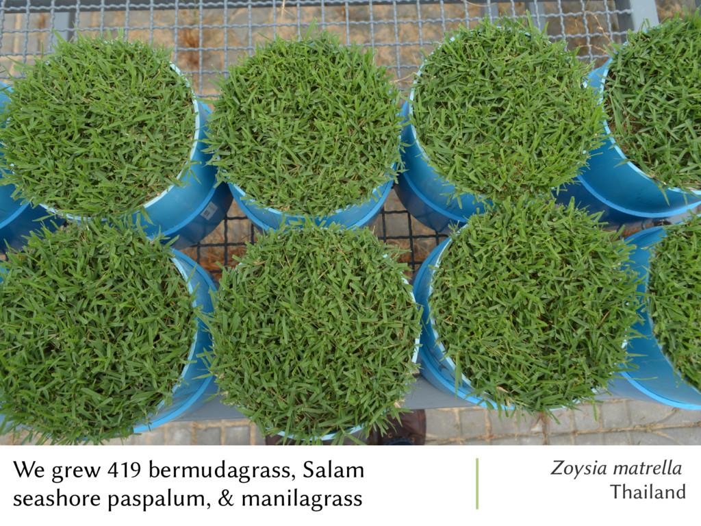 We grew 419 bermudagrass, Salam seashore paspal...