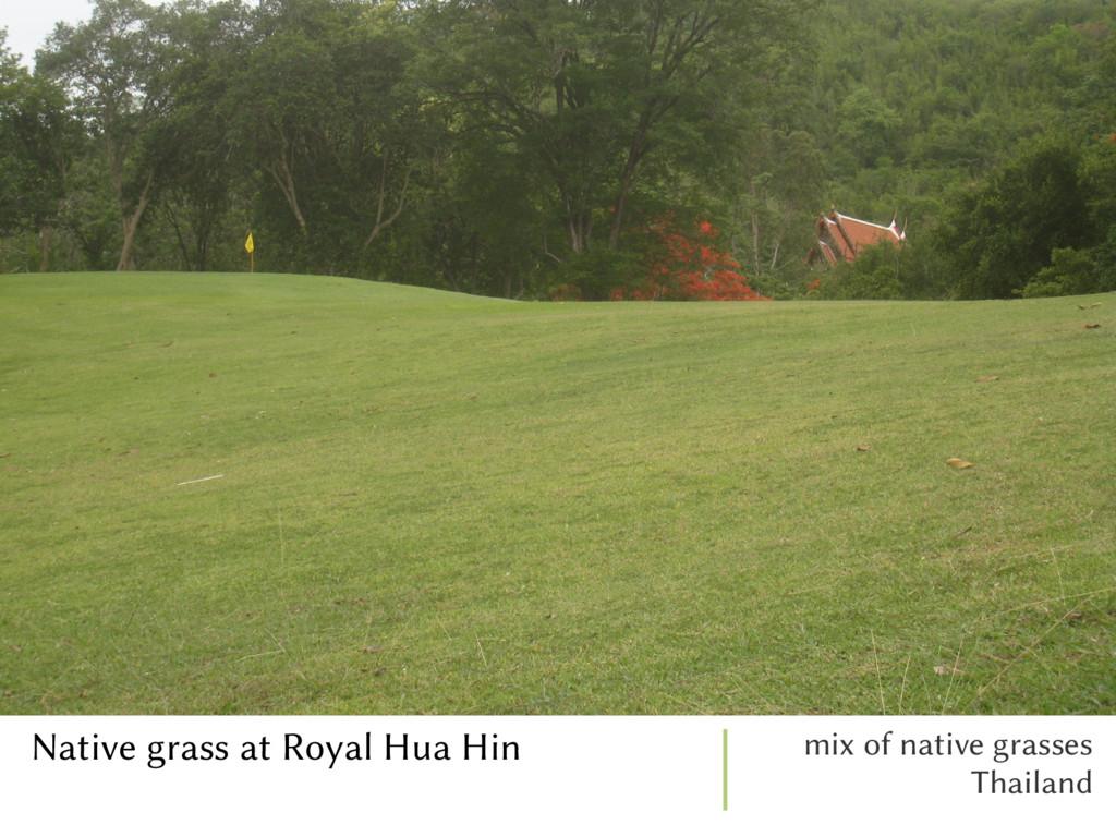 Native grass at Royal Hua Hin mix of native gra...
