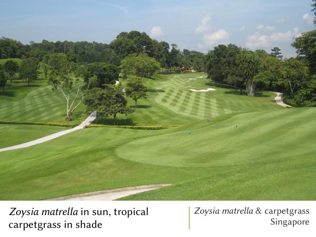 Zoysia matrella in sun, tropical carpetgrass in...