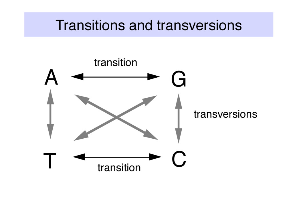 Transitions and transversions A G T C transitio...