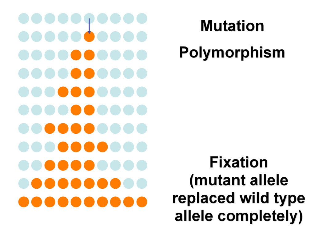 Polymorphism Fixation (mutant allele replaced w...