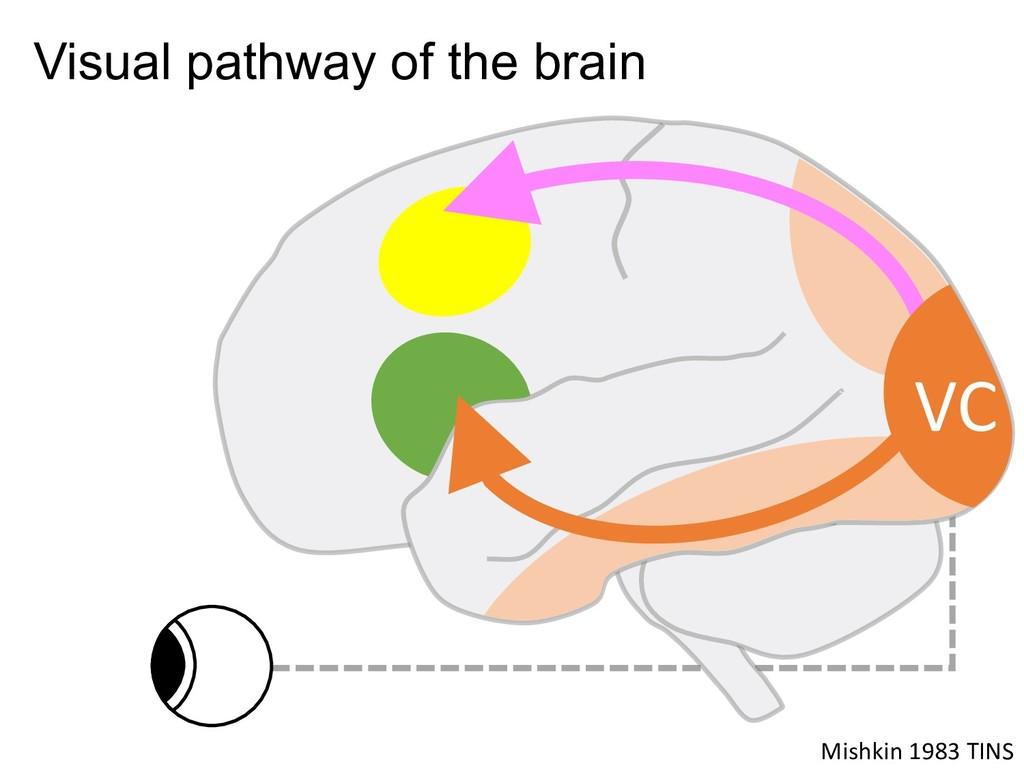 Mishkin 1983 TINS Visual pathway of the brain VC