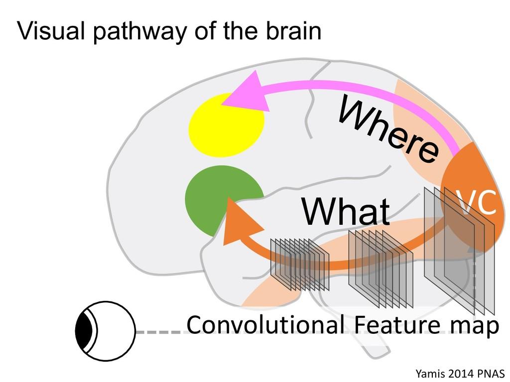 What Yamis 2014 PNAS Visual pathway of the brai...