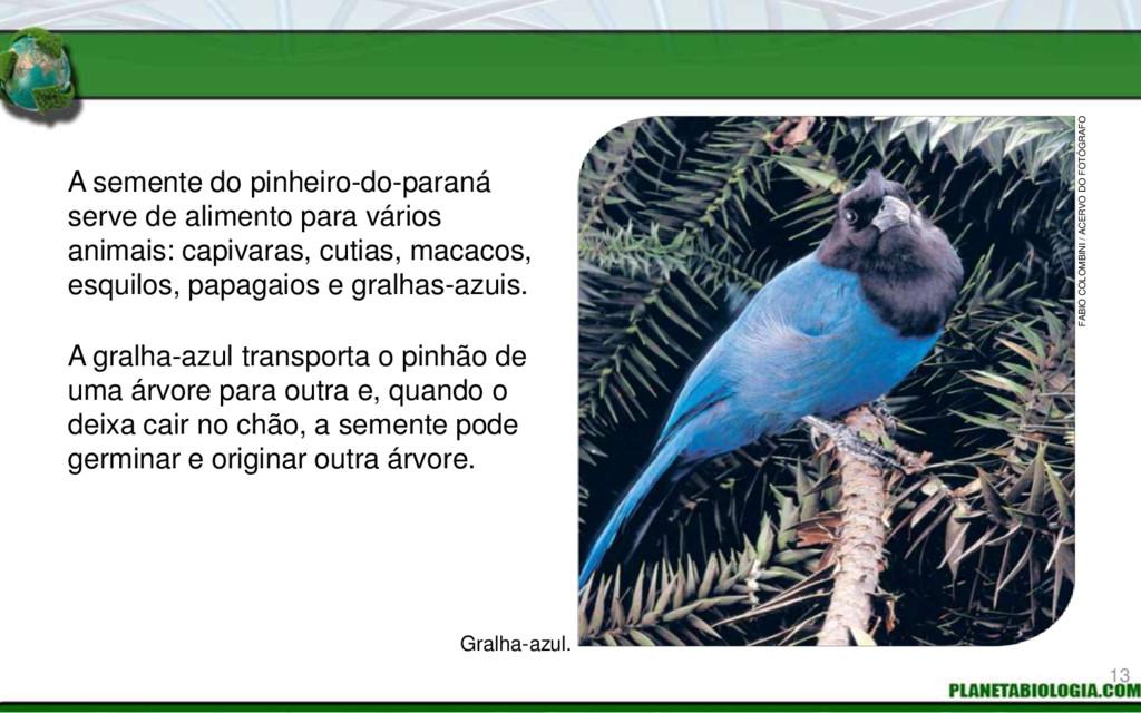 A semente do pinheiro-do-paraná serve de alimen...
