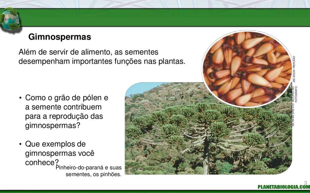 Gimnospermas • Como o grão de pólen e a semente...