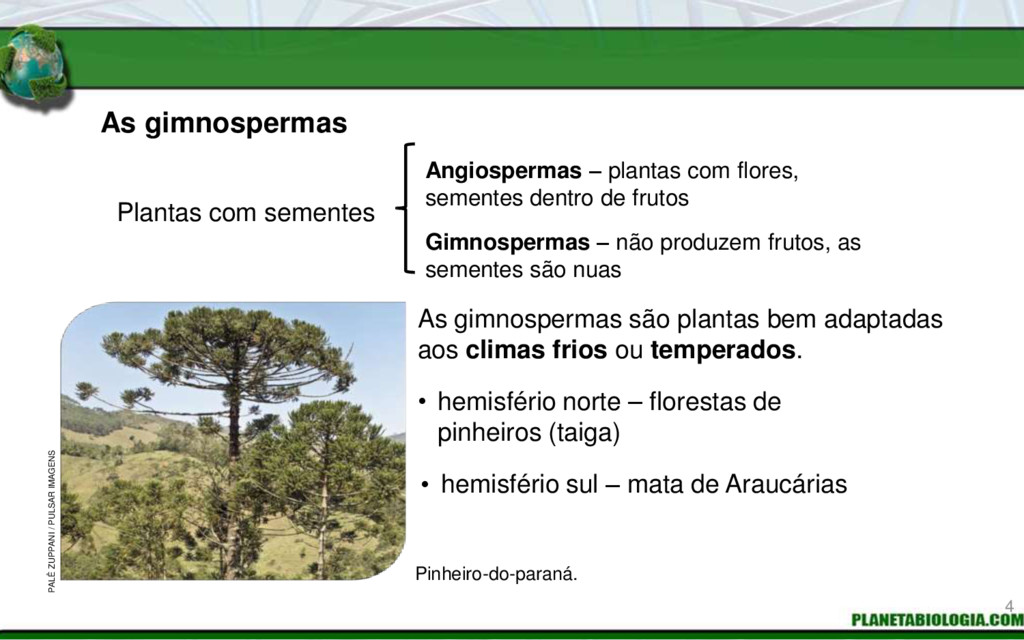 As gimnospermas Plantas com sementes Angiosperm...