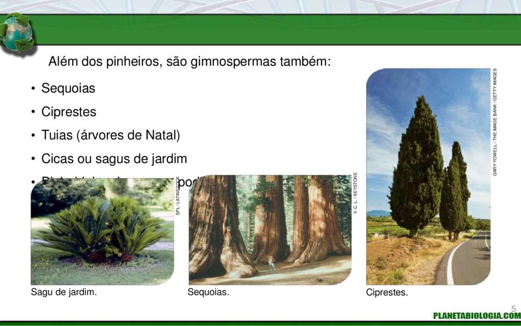 Além dos pinheiros, são gimnospermas também: Se...