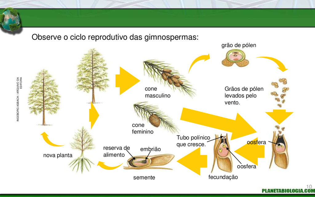 Observe o ciclo reprodutivo das gimnospermas: c...