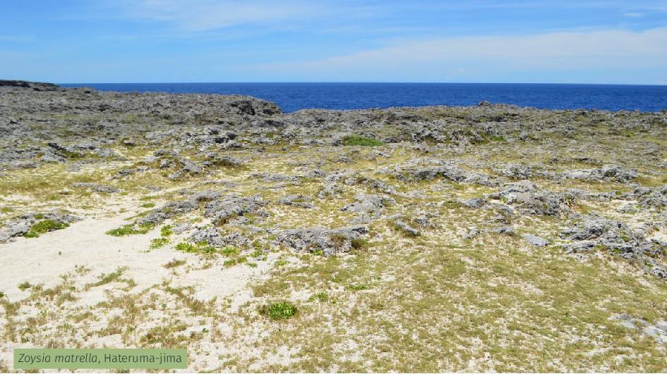 Zoysia matrella, Hateruma-jima