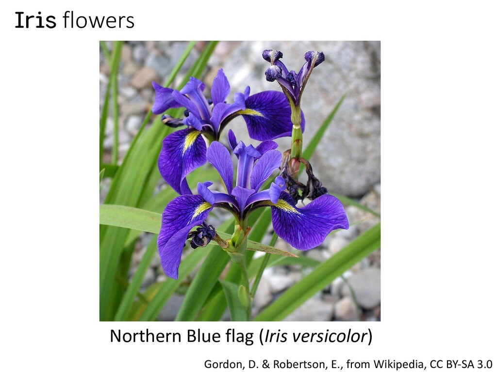 Iris flowers Northern Blue flag (Iris versicolo...