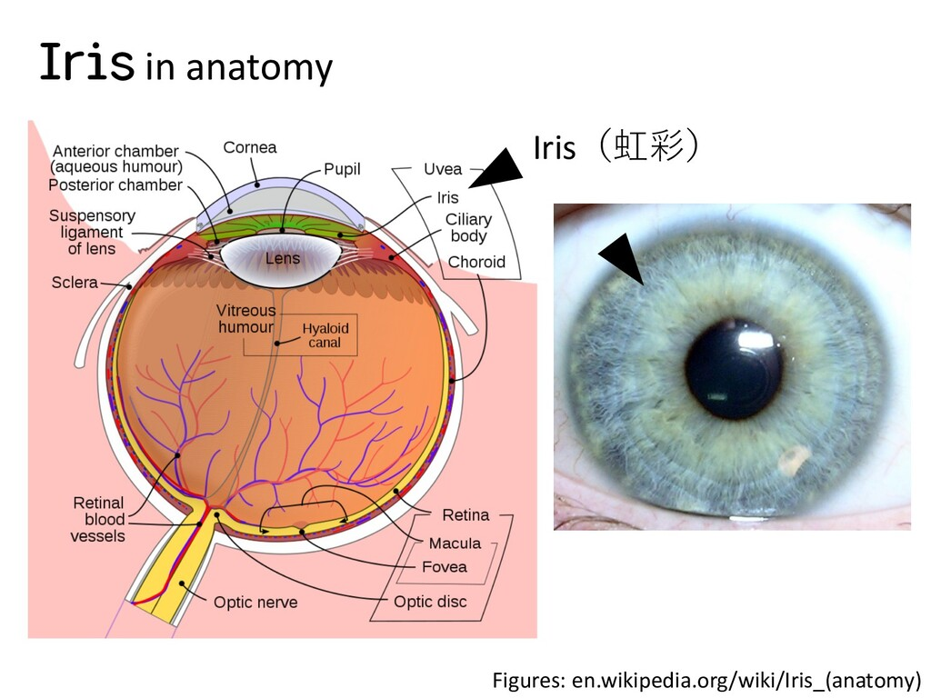 Figures: en.wikipedia.org/wiki/Iris_(anatomy) I...