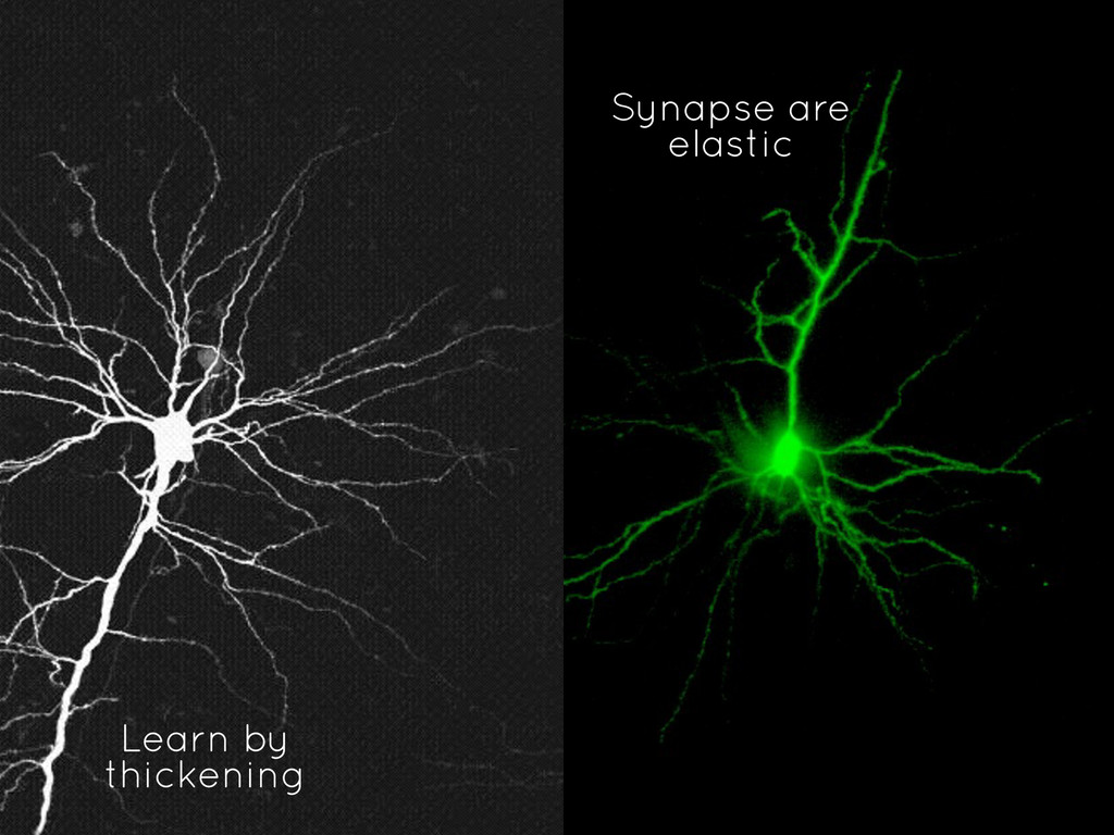 Synapse are elastic Learn by thickening