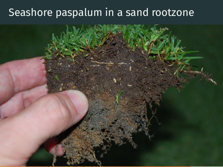 Seashore paspalum in a sand rootzone