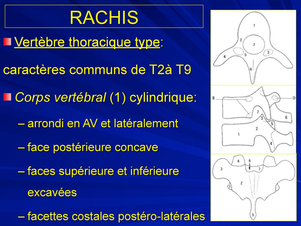RACHIS Vertèbre thoracique type: caractères com...