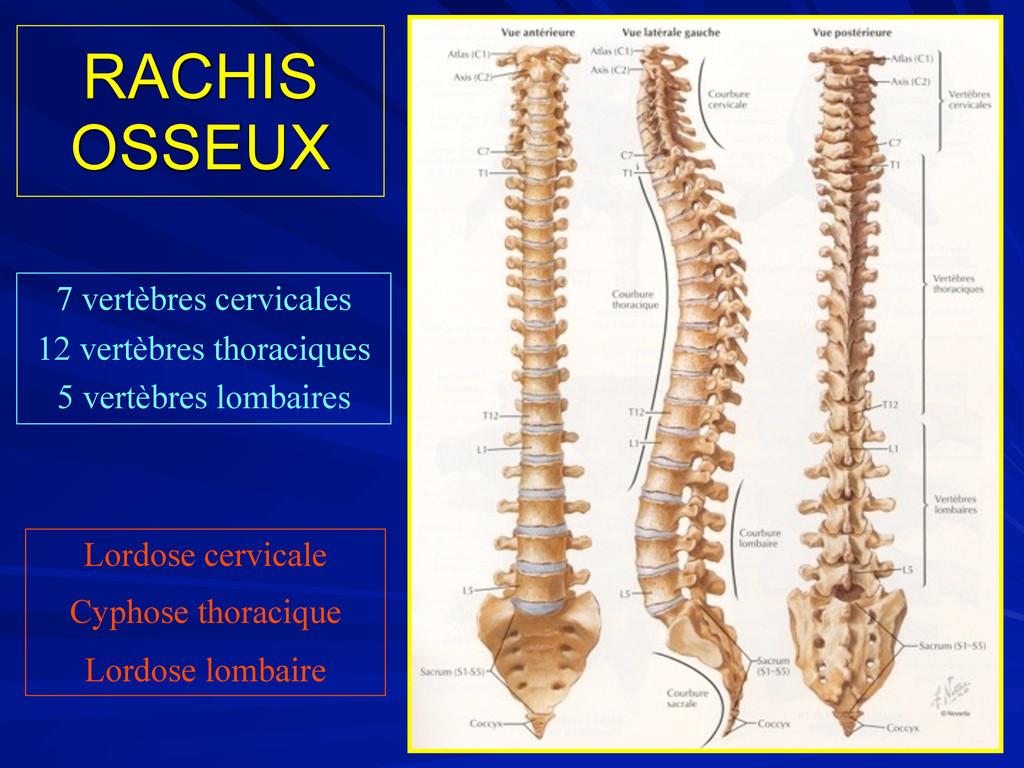 RACHIS OSSEUX 7 vertèbres cervicales 12 vertèbr...