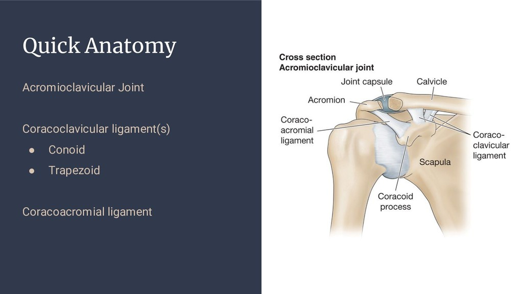 Quick Anatomy Acromioclavicular Joint Coracocla...