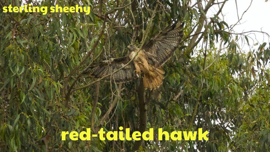 red-tailed hawk sterling sheehy