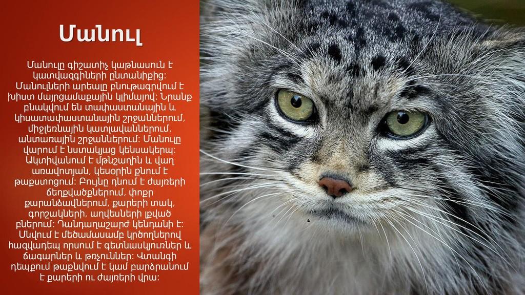 Մանուլ Մանուլը գիշատիչ կաթնասուն է կատվազգիների...