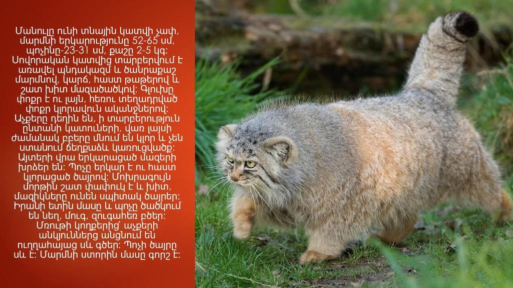 Մանուլը ունի տնային կատվի չափ, մարմնի երկարությ...